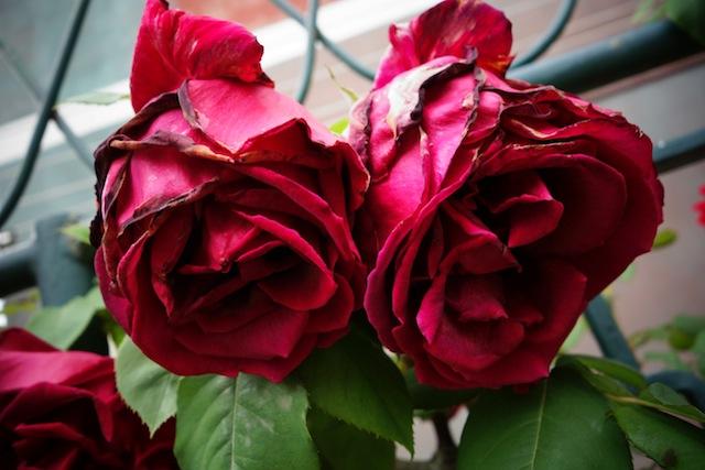 Roses of Burano