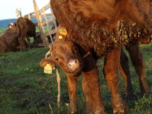 A Salers calf, photo by Kathe Lison